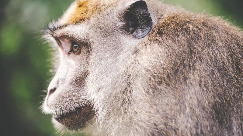 monkey-animal-face-portrait-side-head-nature