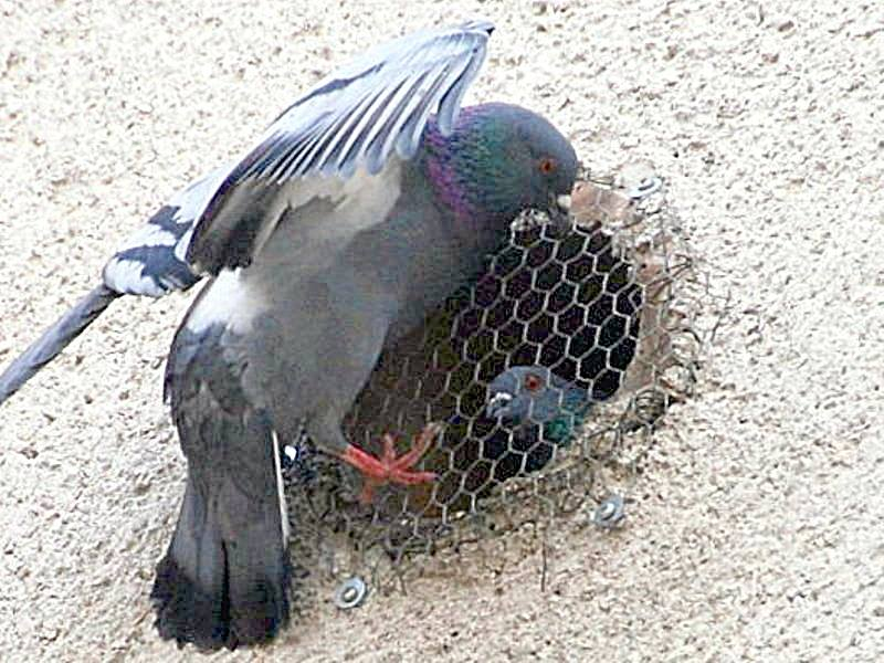 ptaki-golab
