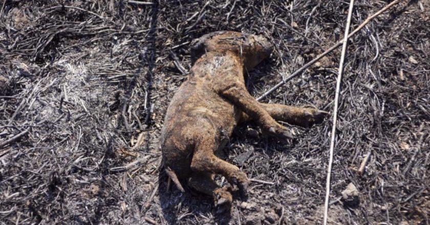 wypalanie-traw-martwy-dzik