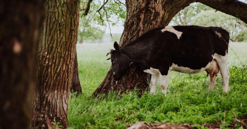 Krowy z Deszczna. Fot. Ela Radzikowska