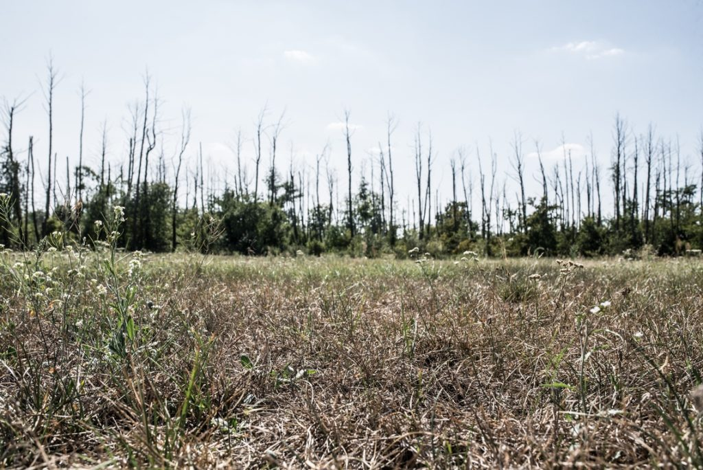 Wysuszone łąki i martwe drzewa w okolicach kopalni Tomisławice. Fot. Jakub Szafrański