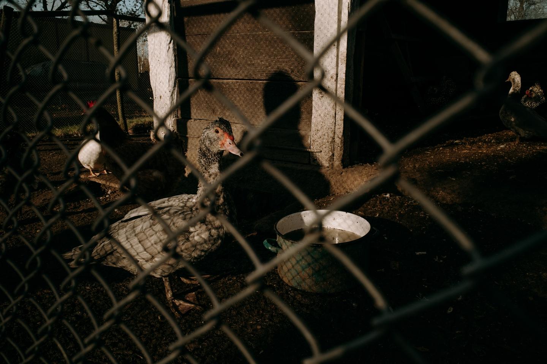 Kaczka na terenie ekologicznego gospodarstwa rolnego Moniki i Roberta Kuryluków we wsi Holeszów, fot. Dawid Żuchowicz