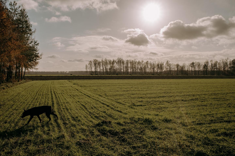 Pies Rolo na polu gospodarstwa rolnego Kuryluków we wsi Holeszów, fot. Dawid Żuchowicz