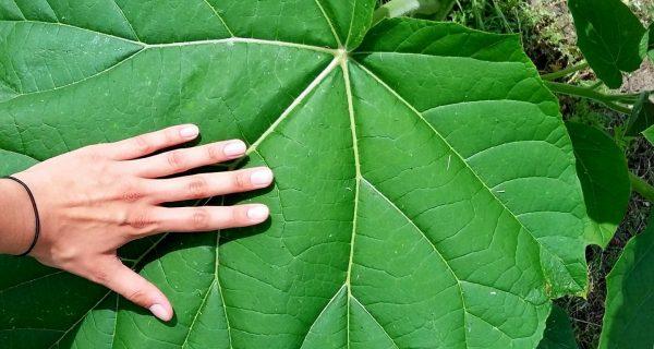 Liść Oxytree. Fot. Milo33/Wikimedia Commons